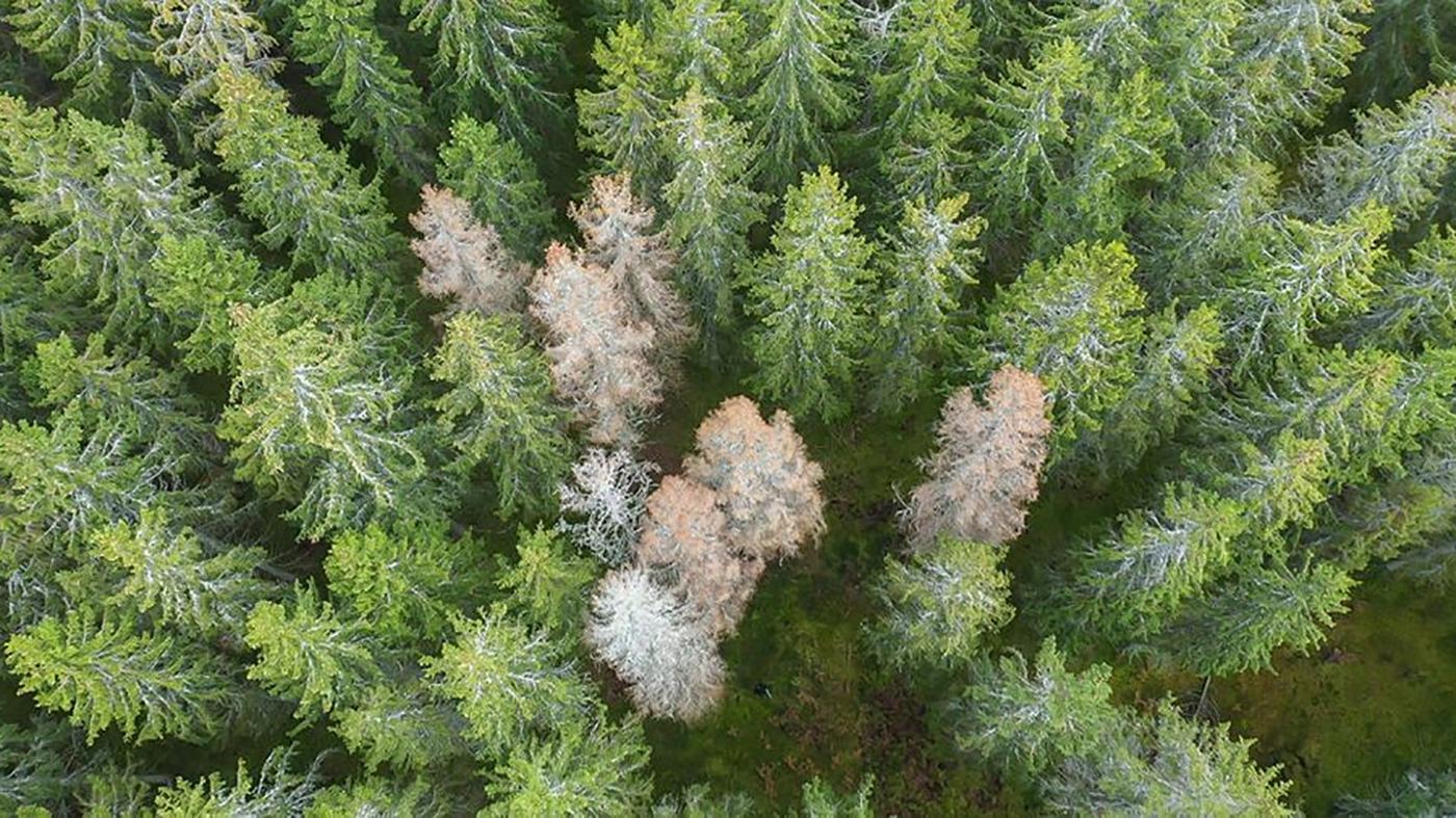 Angripen skog av granbarkkorre kan upptäckas med stöd av AI. Foto: Skogsstyrelsen.